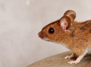 3d bioplotter - medial 3d printing - mouse
